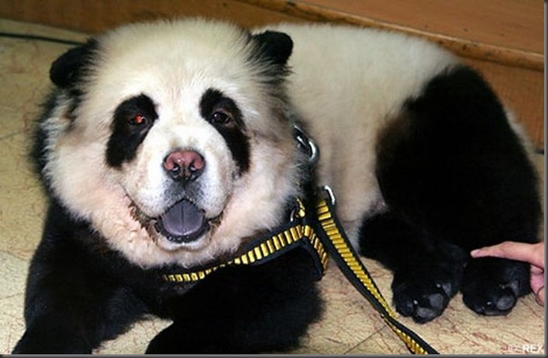 Cães pandas e tigres na China (7)