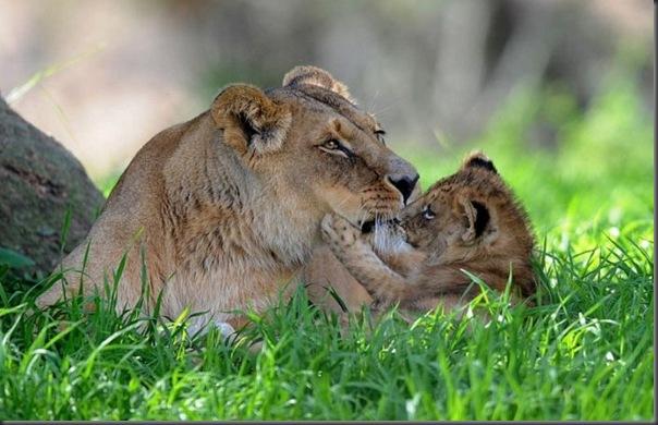 Filhotes com seus pais no mundo animal (13)