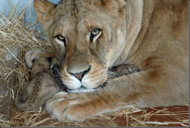 Filhotes com seus pais no mundo animal (11)