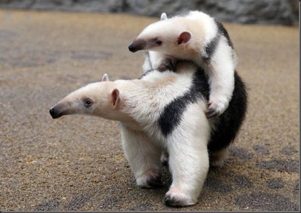 Filhotes com seus pais no mundo animal (9)