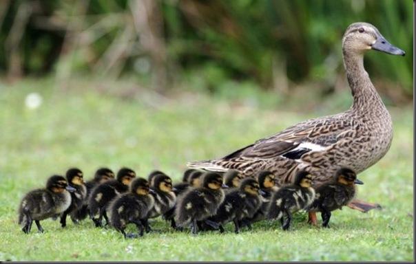 Filhotes com seus pais no mundo animal (3)