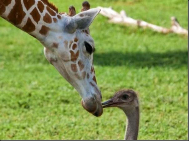 O amor entre uma girafa e um avestruz (6)