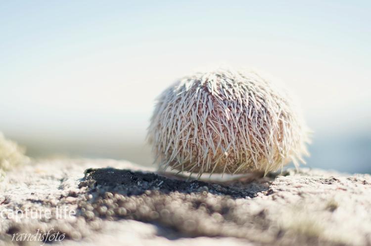 kokosbolle