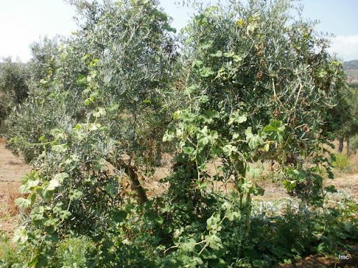 El huésped agobia al olivo