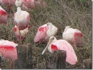 roseate spoonbills