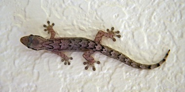 Gecko in the spa of one of the luxury hotels in Ubud Bali