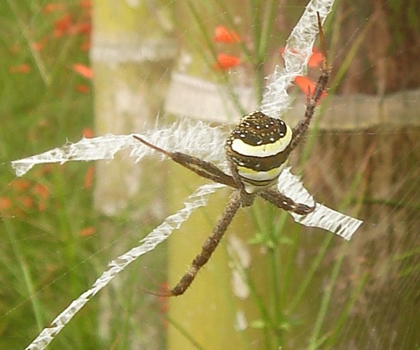 St Andrew's Cross Spider in de bloemen achter het zwembad van Villa Sabandari, yoga class retreat near Ubud in Bali