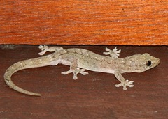 Gekko in een hotel in Ubud Bali waar we logeren bij Belgen