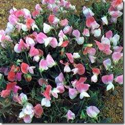 erteblomst pink cupid