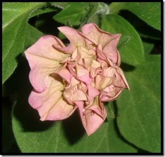 lys rosa dobbel