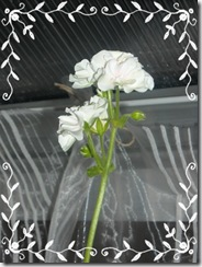 pellis blomst