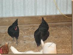 chicken coop (4)