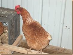 chicken coop (5)