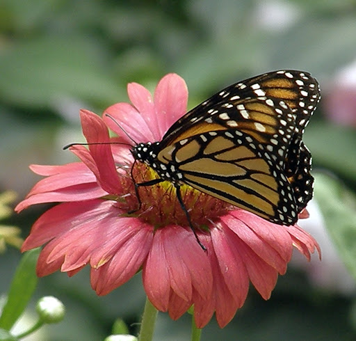 photo by Sharani - Monarch Butterfly