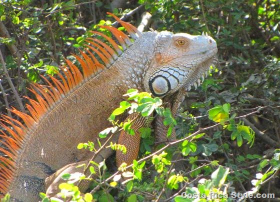 Costa Rica Orange Iguana