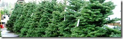 christmas-trees-4sale