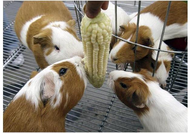 guinea-pig-festival (3)