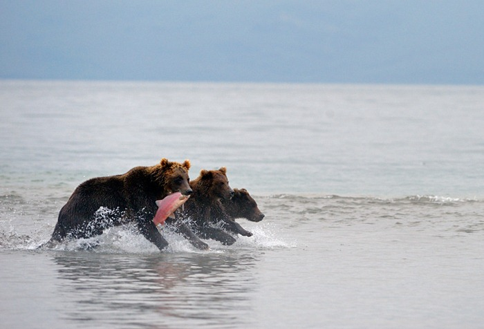 Bear troika/n
