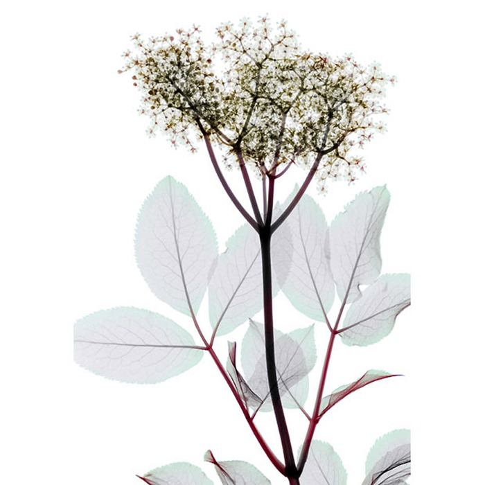 X Ray Flowers...***EXCLUSIVE*** UNSPECIFED - UNDATED: Elderflower, coloured X-ray. These mesmerising shots are the fruit of years of careful experimentation by artist Hugh Turvey, using x-rays to really get under the surface of things. The technique, which came about thanks to a chance commission from a musician friend who wanted an x-ray image, has been 14 years in the making and has now been so well honed by Hugh that his work is becoming highly sought after. The flowers are the latest in a long line of subjects, including motorbikes, suitcases and stiletto-clad feet. PHOTOGRAPH BY SPL / BARCROFT MEDIA LTD UK Office, London. T +44 845 370 2233 W www.barcroftmedia.com USA Office, New York City. T +1 212 564 8159 W www.barcroftusa.com Indian Office, Delhi. T +91 114 653 2118 W www.barcroftindia.com Australasian & Pacific Rim Office, Melbourne. E info@barcroftpacific.com T +613 9510 3188 or +613 9510 0688 W www.barcroftpacific.com