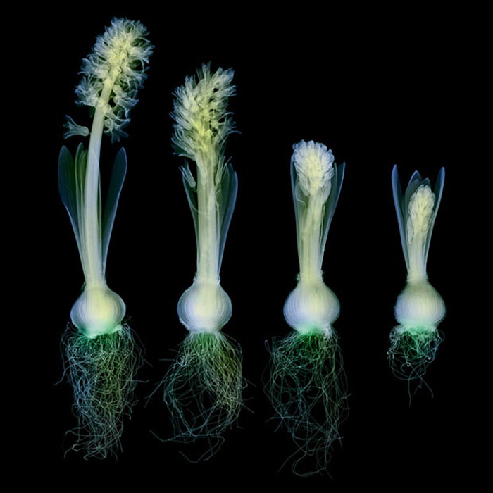X Ray Flowers...***EXCLUSIVE*** UNSPECIFED - UNDATED: Coloured X-ray of a row of hyacinth plants at various stages of development and flowering. These mesmerising shots are the fruit of years of careful experimentation by artist Hugh Turvey, using x-rays to really get under the surface of things. The technique, which came about thanks to a chance commission from a musician friend who wanted an x-ray image, has been 14 years in the making and has now been so well honed by Hugh that his work is becoming highly sought after. The flowers are the latest in a long line of subjects, including motorbikes, suitcases and stiletto-clad feet. PHOTOGRAPH BY SPL / BARCROFT MEDIA LTD UK Office, London. T +44 845 370 2233 W www.barcroftmedia.com USA Office, New York City. T +1 212 564 8159 W www.barcroftusa.com Indian Office, Delhi. T +91 114 653 2118 W www.barcroftindia.com Australasian & Pacific Rim Office, Melbourne. E info@barcroftpacific.com T +613 9510 3188 or +613 9510 0688 W www.barcroftpacific.com