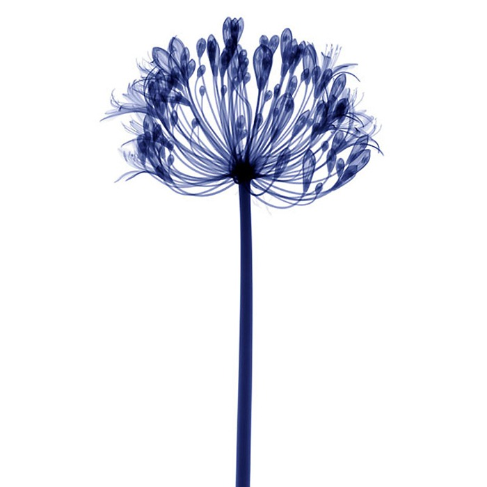 X Ray Flowers...***EXCLUSIVE*** UNSPECIFED - UNDATED: Lily, coloured X-ray. These mesmerising shots are the fruit of years of careful experimentation by artist Hugh Turvey, using x-rays to really get under the surface of things. The technique, which came about thanks to a chance commission from a musician friend who wanted an x-ray image, has been 14 years in the making and has now been so well honed by Hugh that his work is becoming highly sought after. The flowers are the latest in a long line of subjects, including motorbikes, suitcases and stiletto-clad feet. PHOTOGRAPH BY SPL / BARCROFT MEDIA LTD UK Office, London. T +44 845 370 2233 W www.barcroftmedia.com USA Office, New York City. T +1 212 564 8159 W www.barcroftusa.com Indian Office, Delhi. T +91 114 653 2118 W www.barcroftindia.com Australasian & Pacific Rim Office, Melbourne. E info@barcroftpacific.com T +613 9510 3188 or +613 9510 0688 W www.barcroftpacific.com