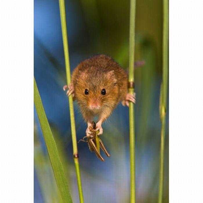 harvest-mice (16)