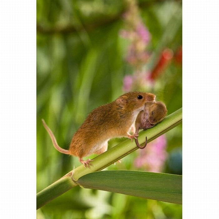 harvest-mice (11)