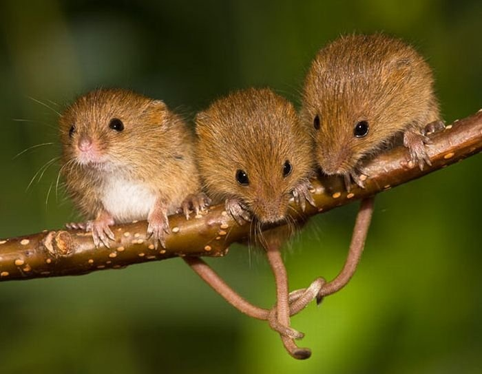 harvest-mice (15)