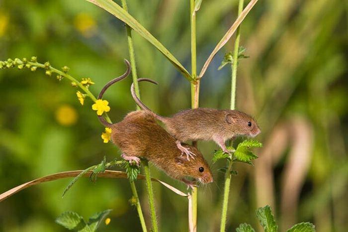 harvest-mice (6)
