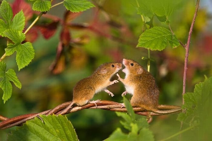 harvest-mice (9)