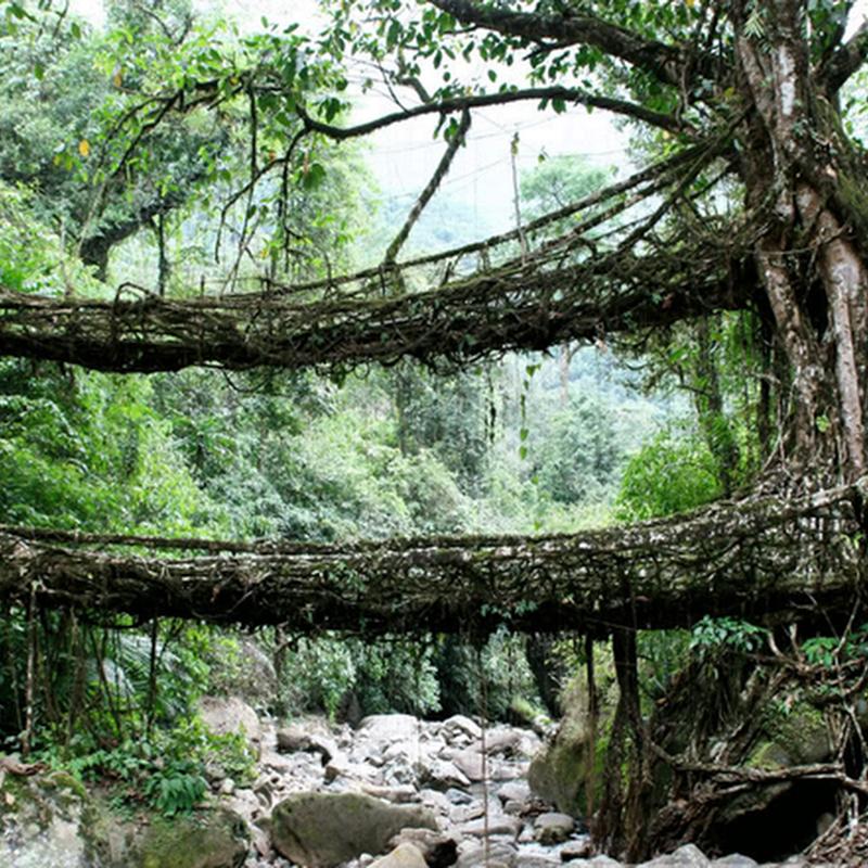 The Living Root Bridges of Cherrapunjee, India
