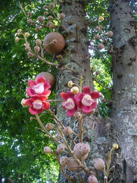 cannonball-tree (7)