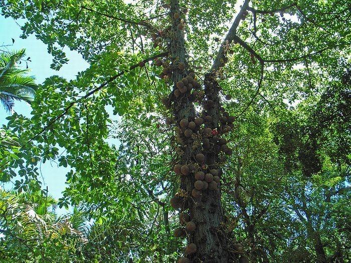 cannonball-tree (5)