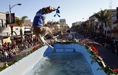 "PASADENA, CALIF. - JANUARYB 1, 2010:  ""Henry, one of the performing dogs on the ""Havin' A Splash,"" Natural Balance Pet Foods float dives into the pool during the 2010 Rose Parade in Pasadena on January 1, 2010.  (Gary Friedman"