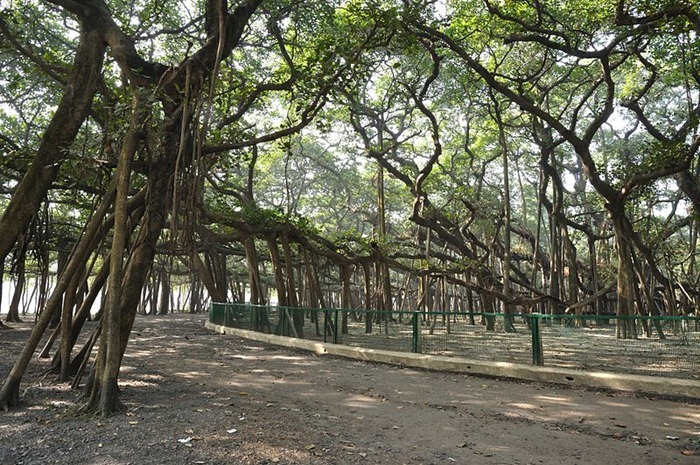 great-banyan-tree5