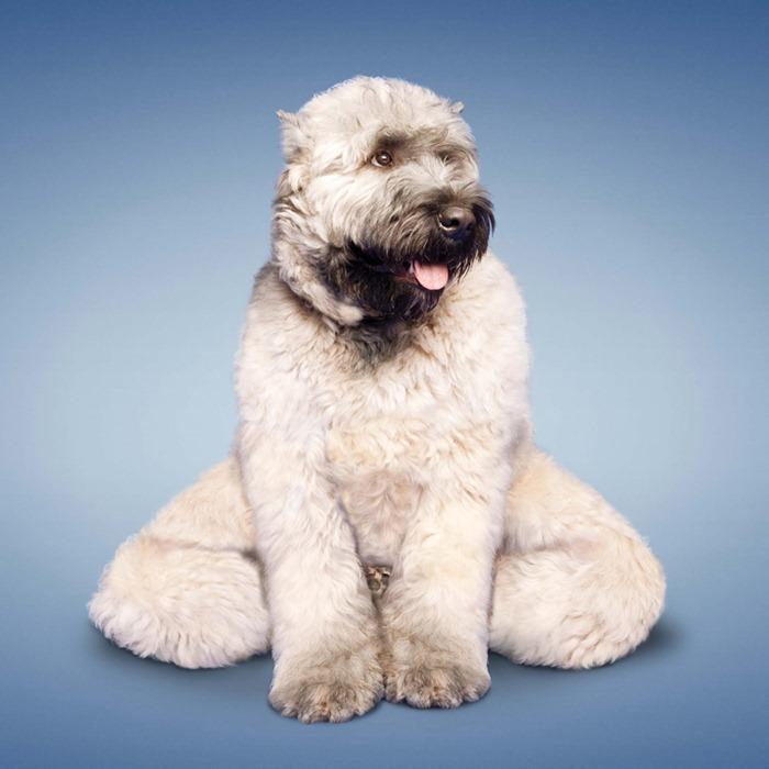 yoga-dogs5