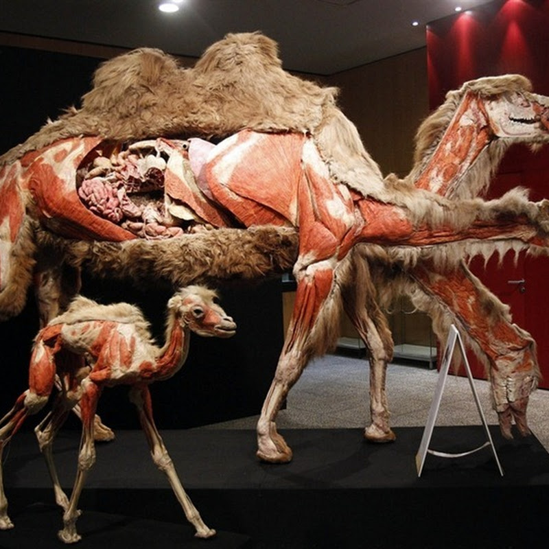 Gunther von Hagens's Plastinated Animal Exhibition
