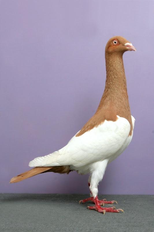 pigeons-champion11