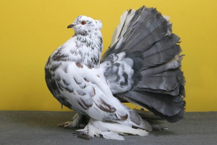 pigeons-champion15
