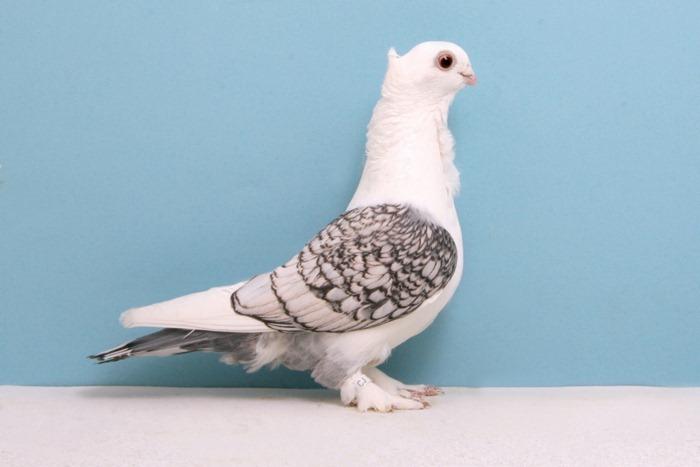 pigeons-champion8