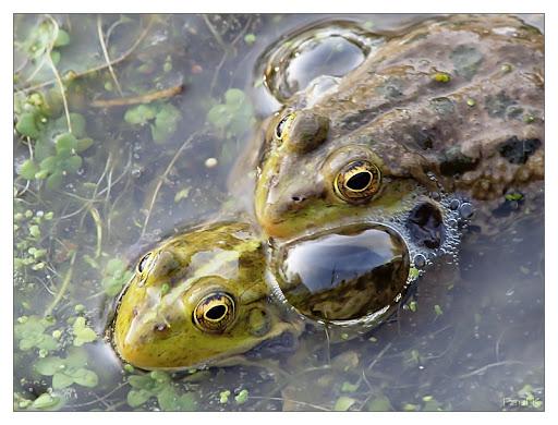 Discussions sur le thème et photos hors concours du mois de septembre 2010 22avril-grenouilles-1