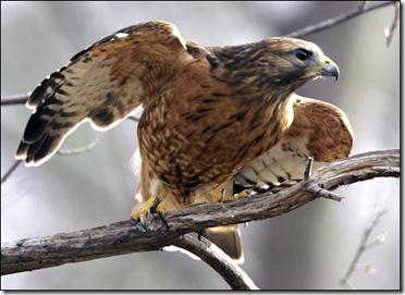Hawk Feature