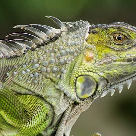 Iguana by Debra Martins - Animals Reptiles ( nature, iguana, wildlife, reptile, animal )