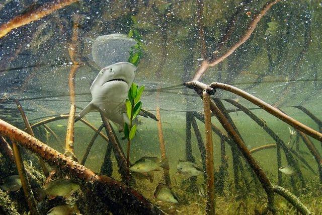 Yaklaşık 1 yaşındaki limon köpekbalığı, mangrov ormanında yüzüyor