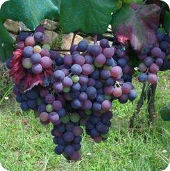 Um dos vários cachos de uva