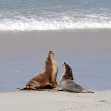 Lions de mer -Seal Bay