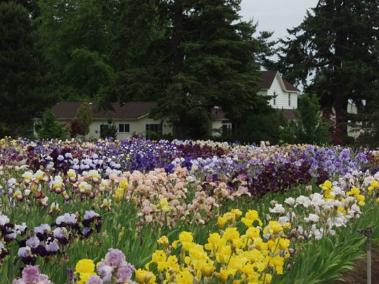 Iris_bloom_18