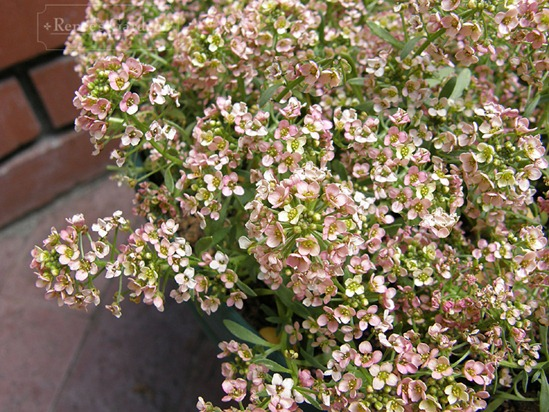 Alyssum Summer Peaches