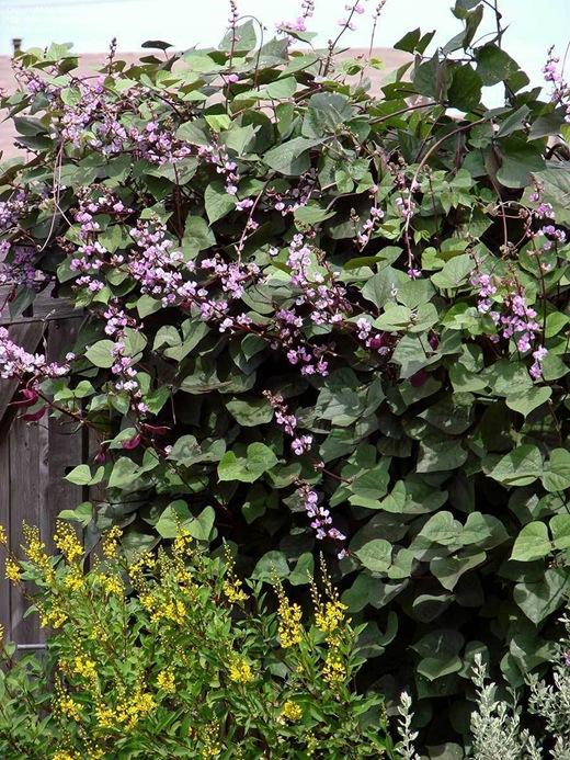 Hyacinth bean 01