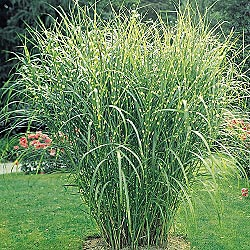 Creative country mom all about grasses fall s beautiful for Landscaping with zebra grass